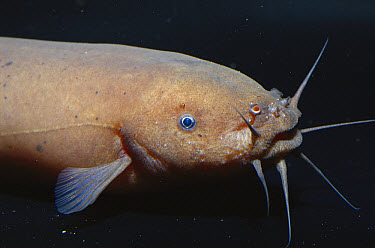 Electric Catfish (Malapterus sp) at Steinhart Aquarium, San Francisco, California, native to Africa  -  Norbert Wu