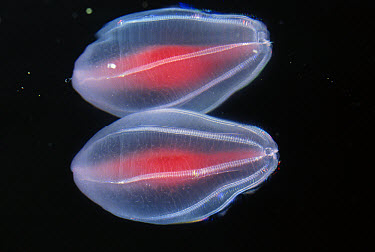 Ctenophore (Beroe cucumis) voracious, large mouth, Arctic  -  Norbert Wu