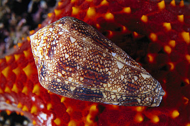 Cone Snail (Conus dalli), Sea of Cortez, Baja California, Mexico  -  Norbert Wu