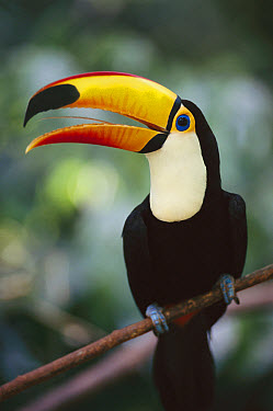 Toco Toucan (Ramphastos toco) bill is actually light and spongy, Brazil  -  Norbert Wu