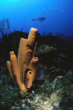Sponge (Agelas sp) with scuba diver swimming above, Belize  -  Norbert Wu