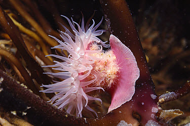 Brooding Anemone (Epiactis prolifera) young hatch out of mouth of brood on basal column, southern California  -  Norbert Wu