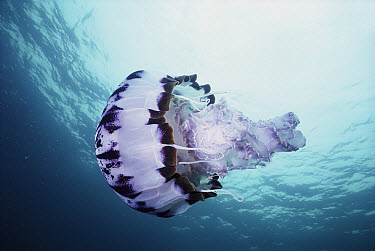 Giant Pelagic Jellyfish (Pelagia panopyra) many animals are associated with this poisonous floating object, Monterey, California  -  Norbert Wu