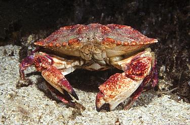 Graceful Rock Crab (Cancer gracilis) adult among sand flats, southern California  -  Norbert Wu