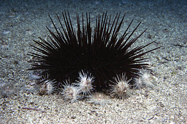 White Sea Urchin (Lytechinus anamesus) group attack and feed on a larger Red Sea Urchin (Strongylocentrotus franciscanus), southern California  -  Norbert Wu