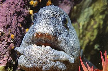 Wolf Eel (Anarrhichthys ocellatus) six feet long, feeds on crabs and urchin, Monterey, California  -  Norbert Wu