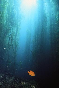 Garibaldi (Hypsypops rubicundus) in Kelp forest, males defend nests and farm rocks for algae, southern California  -  Norbert Wu