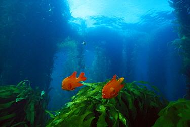 Garibaldi (Hypsypops rubicundus) pair in Kelp forest, males defend nests and farm rocks for algae, southern California  -  Norbert Wu