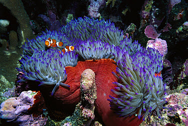 Blackfinned Clownfish (Amphiprion percula) pair, safe among stinging tentacles host Magnificent Anemone (Heteractis magnifica), Solomon Islands  -  Norbert Wu