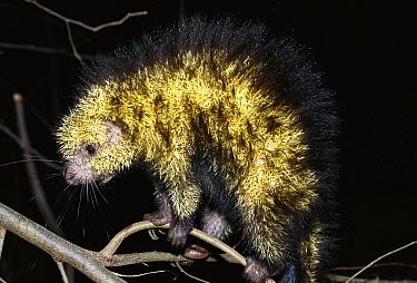 Paraguay Hairy Dwarf Porcupine (Sphiggurus spinosus) arboreal unlike old world porcupines, tropical rainforest habitat, Costa Rica  -  Norbert Wu