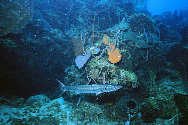 Great Barracuda (Sphyraena barracuda) with hook in mouth, Roatan Island, Honduras  -  Norbert Wu