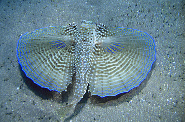 Flying Gurnard (Dactylopterus volitans) unfolds large wings to confuse and threaten predators, Saba Island, Netherlands Antilles, Caribbean  -  Norbert Wu