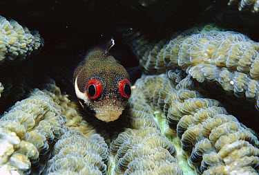 Spotjaw Blenny (Acanthemblemaria rivasi) in Brain Coral, large red eyes scare off predators, Caribbean  -  Norbert Wu
