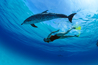 Atlantic Spotted Dolphin (Stenella frontalis) playing with Poppi Gilman, Little Bahama Bank, Caribbean  -  Norbert Wu
