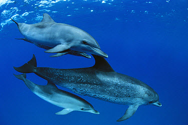 Atlantic Spotted Dolphin (Stenella frontalis) mother and calf, Little Bahama Bank, Caribbean  -  Norbert Wu