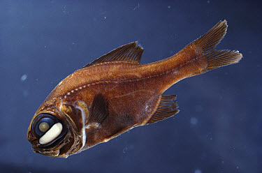 One-fin Flashlight Fish (Photoblepharon palpebratum) light organ under eye used in mating and attracting prey, Grand Comore Island, Indian Ocean  -  Norbert Wu