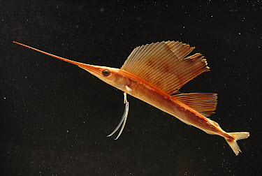Sailfish (Istiophorus greyi) juvenile of popular sport fish  -  Norbert Wu