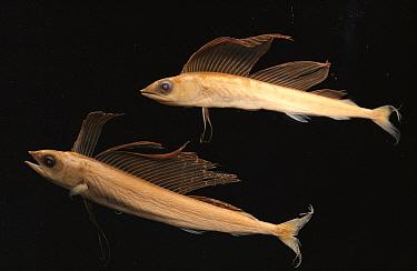 Marlin (Makaira mazara) juvenile pair haven't yet developed long bill  -  Norbert Wu