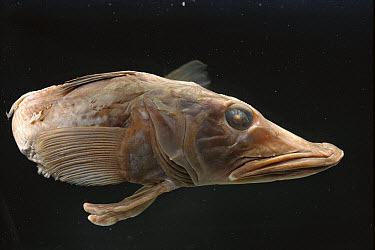 Blackfin Icefish (Chaenocephalus aceratus) blood contains antifreeze to survive in -2 degrees Celsius temperatures, Anvers Island, Antarctica  -  Norbert Wu