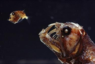 Viperfish (Chauliodus sp) chasing Hatchetfish (Sternoptyx sp) deep sea  -  Norbert Wu