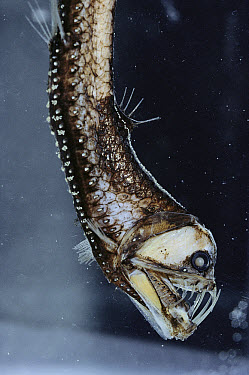 Viperfish (Chauliodus sloani) light organs in mouth and all along body, southeastern Pacific, deep sea  -  Norbert Wu