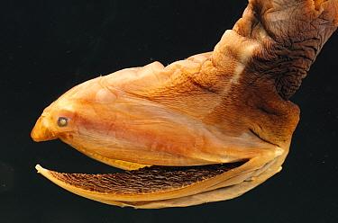 Lavenberg's Gulper-eel (Saccopharynx lavenbergi) deep sea species with hinged mouth swings wide open to accommodate large prey, deep sea, Guadalupe Island  -  Norbert Wu