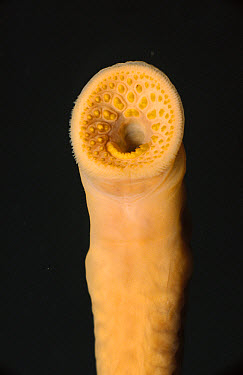 Lamprey (Petromyzon marinus) in parasite phase feeds on fish by rasping through their skin, Salmon River at Lake Champlain, New York  -  Norbert Wu