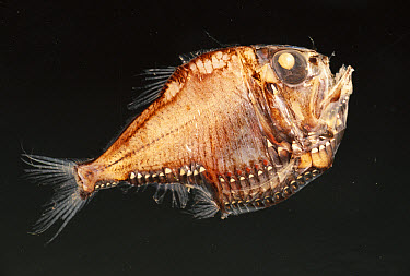 Slender Hatchetfish (Argyropelecus affinis) eyes look up, light plates on body counter illuminate creating no shadow, deep sea  -  Norbert Wu