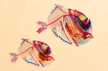 Slender Hatchetfish (Argyropelecus affinis) cleared and stained to show bones (Red) and cartilage (Blue) deep sea  -  Norbert Wu