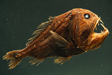 Fangtooth (Anoplogaster cornuta) has bony, hard body, unlike most deep sea fish, San Diego, California  -  Norbert Wu