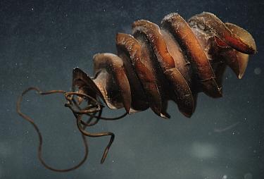 Horn Shark (Heterodontus francisci) hard egg case is screwed into rock crevices  -  Norbert Wu