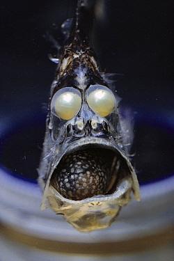 Slender Hatchetfish (Argyropelecus affinis) deep sea, San Clemente Basin, California  -  Norbert Wu