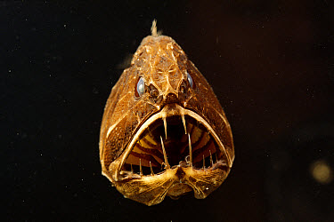 Fangtooth (Anoplogaster cornuta) has bony, hard body, unlike most deep sea fish, Eastern Pacific  -  Norbert Wu