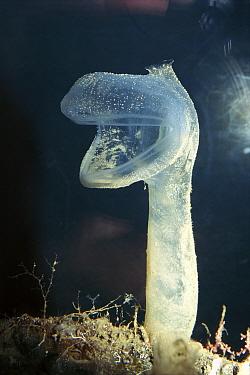 Tunicate (Megalodicopia hians) predatory deep sea species, Monterey, California  -  Norbert Wu