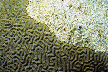 Brain Coral (Diploria sp) dying, white area has been bleached and covered by sediment Healthy coral colony is greenish-brown and clearly shows grooves  -  Norbert Wu
