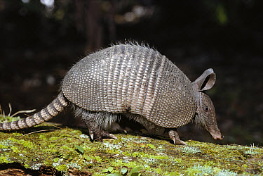 Nine-banded Armadillo (Dasypus novemcinctus) mammal with hard shell, burrows quickly, Florida  -  Norbert Wu