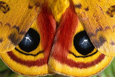 Io Moth (Automeris io) a member of the Giant Silkworm Moth family, eyespots may serve to scare away predators, Florida  -  Norbert Wu
