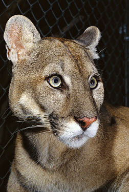 Florida Panther (Puma concolor coryi) portrait, close-up of head, Florida  -  Norbert Wu