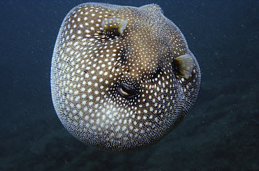 Guineafowl Pufferfish (Arothron meleagris) inflated in defense display, Hawaii  -  Norbert Wu