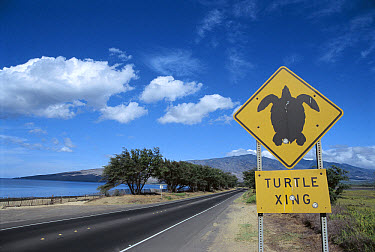 Road sign for Sea Turtle crossing, highway is too close to beach, turtles cross road to dig nests, Maui, Hawaii  -  Norbert Wu