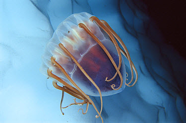Jellyfish (Periphylla periphylla) in Antarctica, widely distributed and abundant in deep water, worldwide  -  Norbert Wu