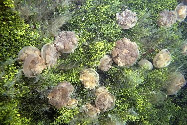 Upside-down Jellyfish (Cassiopea xamachana) in rare landlocked lake, Kakaban Island, Borneo  -  Norbert Wu
