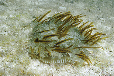 Upside-down Jellyfish (Cassiopea xamachana) lies on bottom, symbiotic algae (Zooxanthellae) in body, Caribbean  -  Norbert Wu