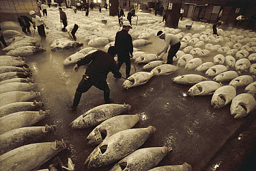Atlantic Bluefin Tuna (Thunnus thynnus) that are frozen are are arranged by market workers for display and auction, Tsukiji Market, Tokyo, Japan  -  Norbert Wu