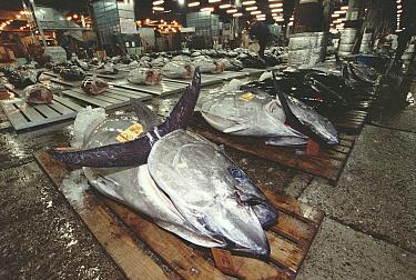 Atlantic Bluefin Tuna (Thunnus thynnus) are displayed for auction, Tsukiji Market, Tokyo, Japan  -  Norbert Wu