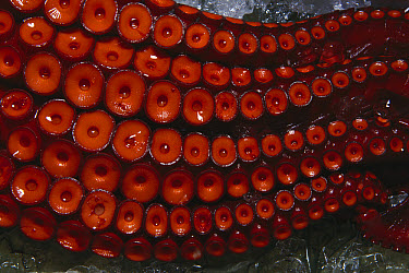 Octopus (Octopus sp) close-up of tentacles and suction discs, Tsukiji Market, Tokyo, Japan  -  Norbert Wu