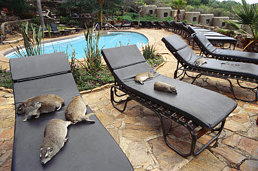 Small-toothed Rock Hyrax (Heterohyrax brucei) group lounging around pool at Mara Serena lodge, closest living relative of the Elephant, feet possess hoof-like nails, Kenya  -  Norbert Wu