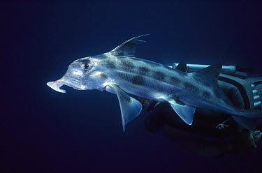 Australian Ghost Shark (Callorhinchus milii) trunk-like snout detects prey in sea bottom, primitive fish relative to sharks, lives in the deep sea, New Zealand  -  Norbert Wu