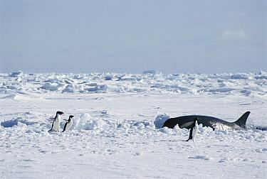 Orca (Orcinus orca) surfacing near Adelie Penguin (Pygoscelis adeliae) group, McMurdo Sound, Antarctica  -  Norbert Wu