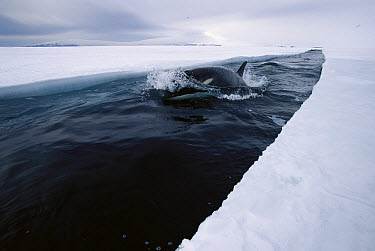 Orca (Orcinus orca) travels down opening leads of ice, making deep dives under ice to hunt Antarctic cod, McMurdo Sound, Antarctica, sequence 2 of 4  -  Norbert Wu